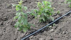 莓水滴灌溉词根与水水管的 股票视频