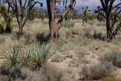 莫哈维沙漠树风景加利福尼亚 免版税库存图片