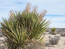 莫哈韦沙漠丝兰或西班牙匕首 免版税图库摄影