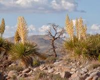 莫哈韦沙漠丝兰(丝兰schidigera)和一个停止的结构树 免版税库存照片