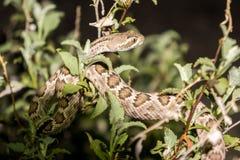 莫哈韦沙漠响尾蛇在亚利桑那沙漠 库存照片