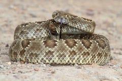 莫哈韦沙漠响尾蛇-响尾蛇scutulatus 免版税图库摄影