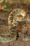莫哈韦沙漠响尾蛇 免版税库存照片