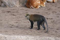 莫娜猴子-长尾猴属莫娜 库存照片