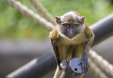 莫娜猴子 库存图片