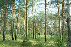 莫斯科地区的自然公园,美丽的安静的森林 图库摄影