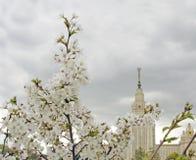 莫斯科大学 苹果开花的结构树 免版税图库摄影