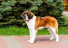 莫斯科看家狗看得在旁边 免版税库存图片