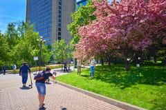 莫斯科, 2018年5月, 9日:家庭近射击照片对开花的桃红色佐仓树在城市 晴朗的春日都市风景 库存照片