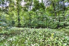 莫斯科-俄罗斯联邦的桦树森林 免版税库存照片