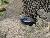 莫桑比克眼镜蛇 免版税库存图片