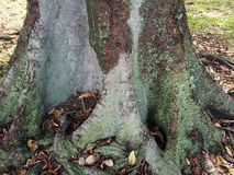 莫顿海湾无花果树 库存图片
