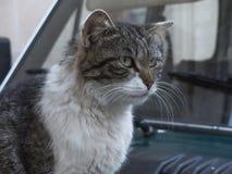 莱切猫 免版税图库摄影