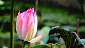 莲属Nucifera花& x28;Lotus& x29; 免版税库存照片