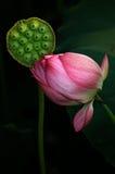 莲属nucifera 免版税库存照片
