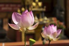 莲花两朵花  免版税库存照片