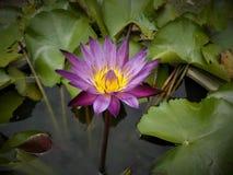 莲花五颜六色的紫色在庭院里 免版税库存照片