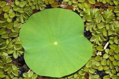莲花叶子关闭有浮动蕨背景 免版税库存照片