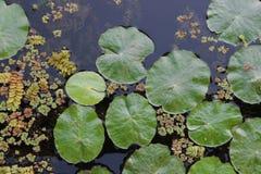 莲花叶子和水生植物在湖 免版税库存图片