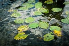 莲花叶子在秋天期间的一个湖 免版税图库摄影