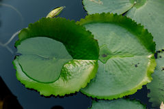 莲花叶子在荷花池在一个晴天 免版税库存照片