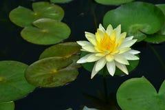 莲花叶子绿色 库存照片