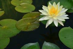 莲花叶子绿色 库存图片
