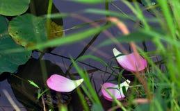 莲花叶子 库存图片