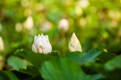 莲花叶子 库存照片