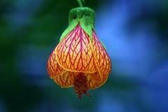 莲花吸引蜂 免版税库存图片