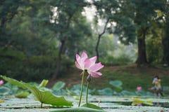 莲花和叶子在夏天 免版税库存照片
