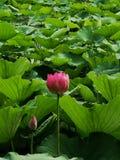 莲花和叶子在池塘在夏天 免版税库存图片