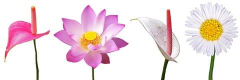 莲花和彩斑芋隔离 免版税库存图片