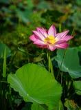 莲花和植物 库存照片