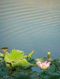 莲花和植物 免版税库存照片