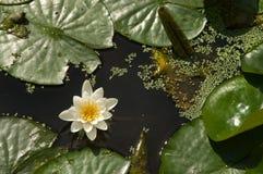 莲花和睡莲叶在池塘 图库摄影