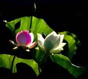 莲花和绿色叶子 库存图片