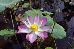 莲花和芽。 免版税库存图片