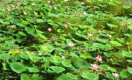 莲花和芽有绿色叶子的 库存照片