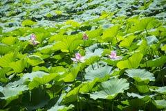 莲花和莲花叶子 库存照片