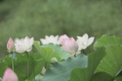 莲花和莲花植物 图库摄影