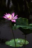 莲花和莲花植物 免版税图库摄影