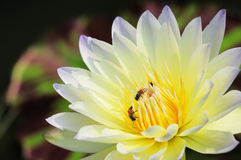 莲花和蜂 免版税库存图片