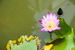 莲花和蜂 免版税库存照片