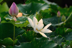 莲花和雨 免版税库存照片