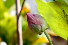 莲花和绿色叶子对背景536 免版税库存照片