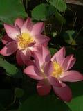 莲花圣洁和典雅 免版税库存图片