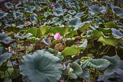 莲花在一个池塘在亚洲 免版税图库摄影