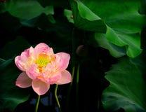 莲花在夏天 库存照片
