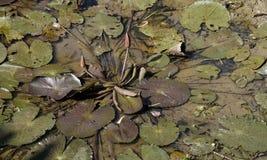莲花在夏季的干燥池塘 库存照片